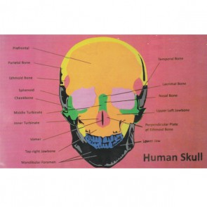 Human Skull Foaming Sheet